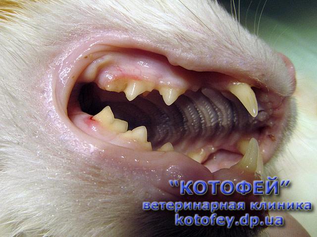 Желтые зубы у котов